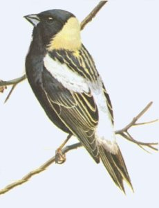 The Bobolink is an at-risk species in Ontario